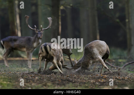 Fallow Deer ( Dama dama ) fighting, in hard fight, locking horns during rutting season, in the midst of a thick - Stock Photo