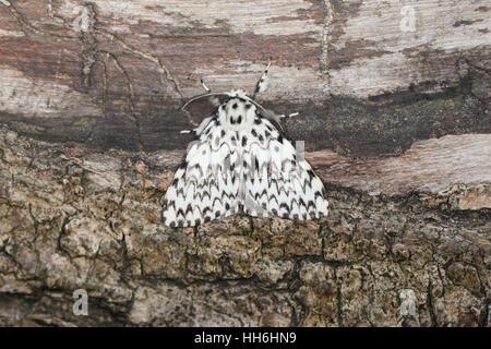 Black Arches (Lymantria monacha), a large pied moth perched on a fallen tree trunk - Stock Photo