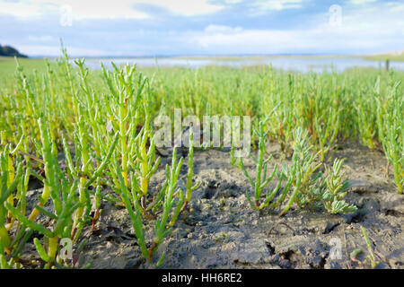 Rock samphire Crithmum maritimum growing on the banks of a natural harbour, Pagham, West Sussex, England, UK - Stock Photo