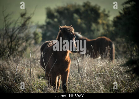 A pony at Cissbury Ring in the South Downs National Park, West Sussex, England. - Stock Photo