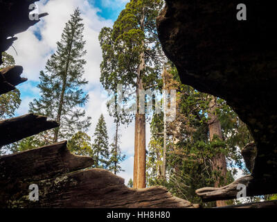 View from inside a fallen hollow giant redwood tree, Grant Grove, Sequoia National Forest. Visitors can walk though - Stock Photo