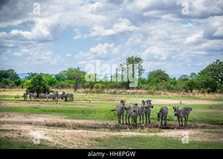 many wild zebras on wild nature, africa, safari - Stock Photo