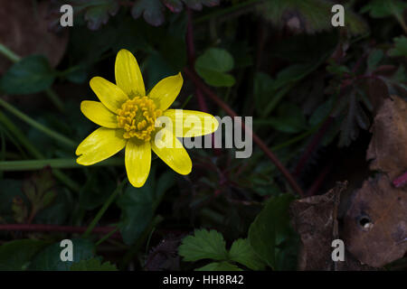 Close-up of lesser celandine (Ficaria verna) flower in early spring in Cambridgeshire, England - Stock Photo