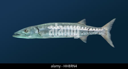 Great Barracuda - Sphyraena barracuda - Stock Photo