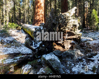 Fallen giant redwood tree near the Giant Forest Museum on the Generals Highway in Sequoia National Park, California. - Stock Photo