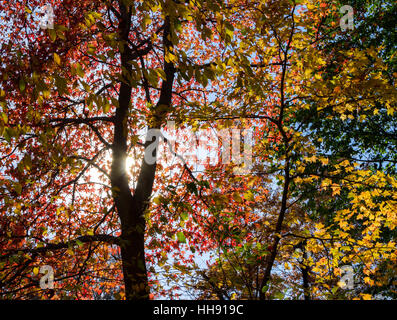 Sunlight shining through rainbow colored fall leaves in Central Park, New York City - Stock Photo
