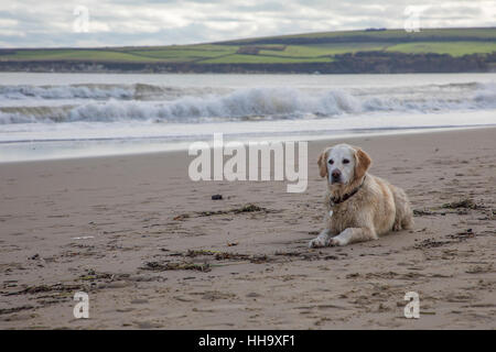 pet dog golden retriever laying on beach ready to play - Stock Photo
