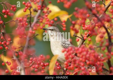 Northern mockingbird in berry tree - Stock Photo