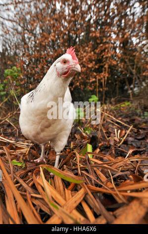 white free range chicken hen in winter garden - Stock Photo
