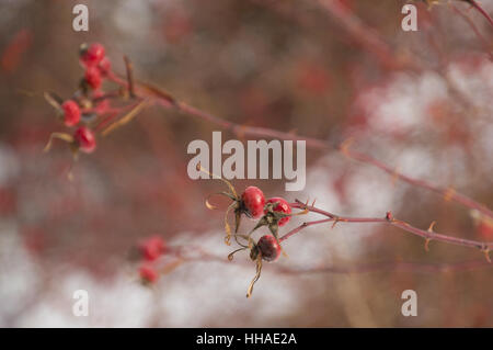 Briliant sunlit hairy wild rose hips with snow background - Stock Photo