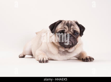 beautiful pug puppy dog lying down, isolated on white background - Stock Photo