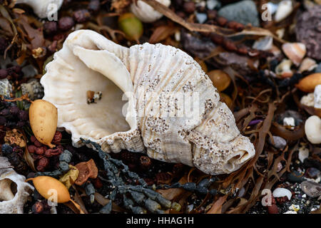 seashell polished by waves on a rocky beach - Stock Photo