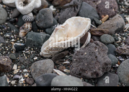seashell polished by waves on a rocky beach - Stock Photo