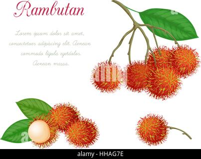 Vector illustration of rambutan, made in a realistic style. Isolated objects on a white background. A series of - Stock Photo