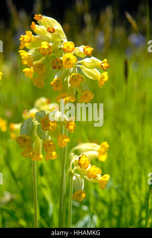 Cowslips, Primula veris, growing in a churchyard, West Wales - Stock Photo