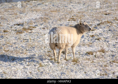 a snow covered sheep - Stock Photo