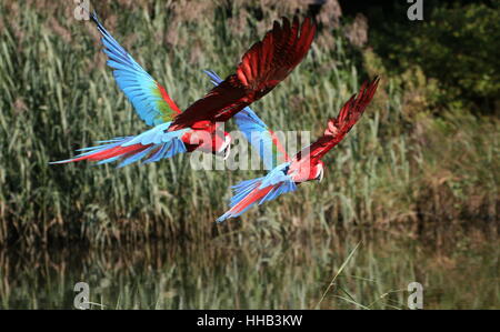 Two spooked South American Red and green Macaws (Ara chloropterus) in flight. A.k.a. Green-winged Macaw - Stock Photo