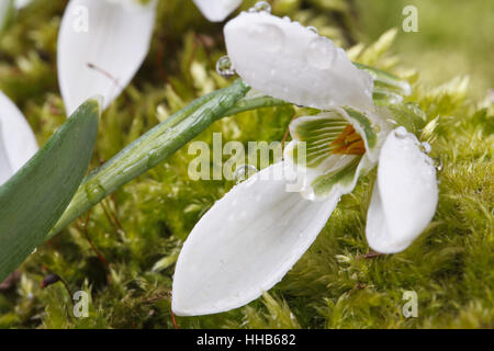 Snowdrop with drops of dew on a background of green moss. closeup. horizontal - Stock Photo