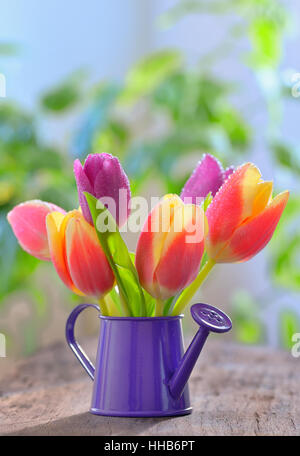 tulips in sprinkler garden on old wooden table - Stock Photo