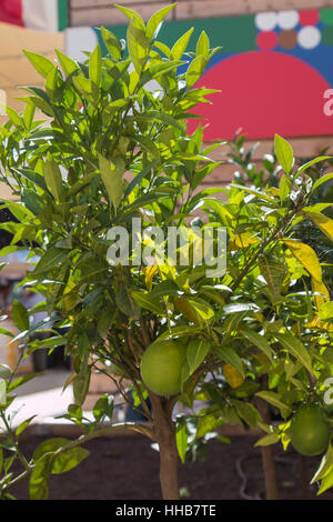 Green Color's Orange Fruits Growing on Tree - Stock Photo