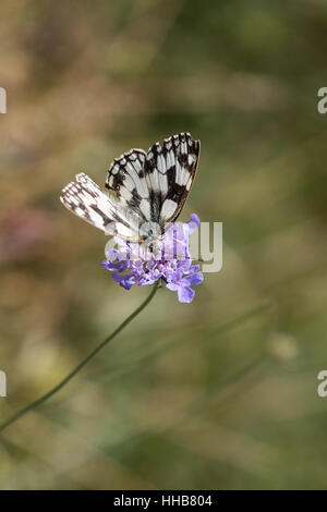 White marbled butterfly ( melanargia galathea ) on a flower - Stock Photo