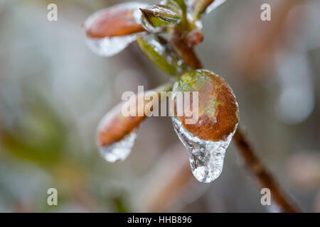 A close up macro of a tree branch bud covered in ice. - Stock Photo