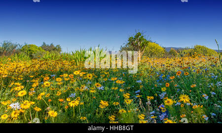 A landscape picture of African Spring flowers in Southern Africa - Stock Photo