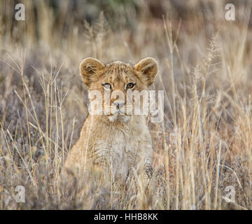 Portrait of a Lion cub in Southern Africa - Stock Photo