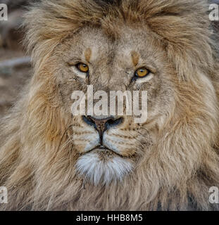 Male Lion in Southern African savanna - Stock Photo