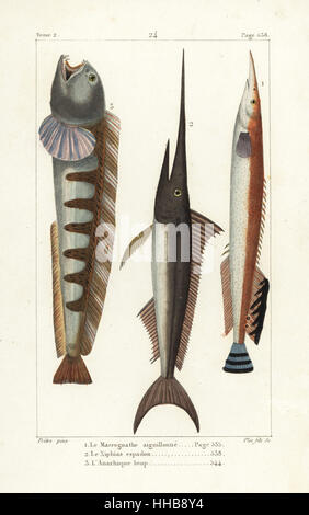Lesser spiny eel, Macrognathus aculeatus, swordfish, Xiphias gladius, and wolf-fish, Anarhichas lupus. Handcoloured - Stock Photo
