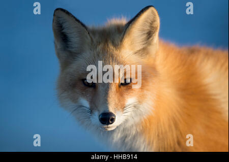 The late evening sun lights up one side of a Red Fox. - Stock Photo