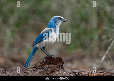A Florida Scrub Jay perches on a log with a curious look in soft afternoon sunlight. - Stock Photo