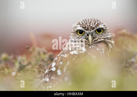 A close portrait of Florida Burrowing Owl as it looks at the camera while sitting in its burrow. - Stock Photo