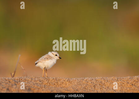 A tiny and adorable Piping Plover chick stands on a sandy beach as the first morning sun shines on it with a smooth - Stock Photo