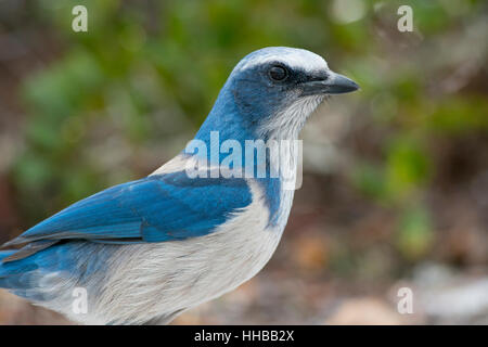 A Florida Scrub Jay stands close by for a portrait with soft overcast light in front of a green background. - Stock Photo