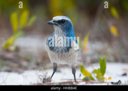A curious Florida Scrub Jay stands on the ground for a close up portrait. - Stock Photo