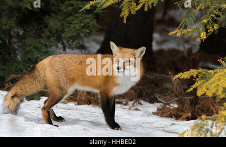 Superb male red fox in Canadian winter. - Stock Photo