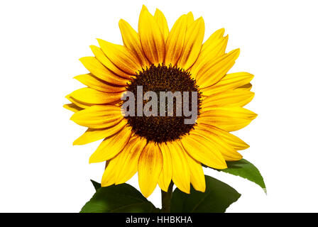 indemnified sunflower bloom of the variety & # 039  & # 039 ring of fire - Stock Photo