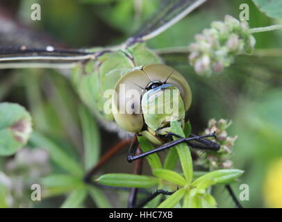 portrait of a great emperor dragonfly (anax imperator) - Stock Photo