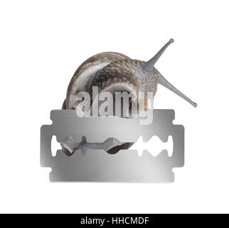 studio photography of a Grapevine snail creeping on the edge of a razor blade in white back
