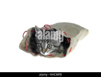 kitten in a small jute sack while looking out. Studio photography isolated on white Stock Photo
