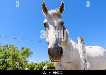 Camargue Horse leans over a fence in the Camargue Natural Regional Park in the Rhône Delta, Southern France - Stock Photo