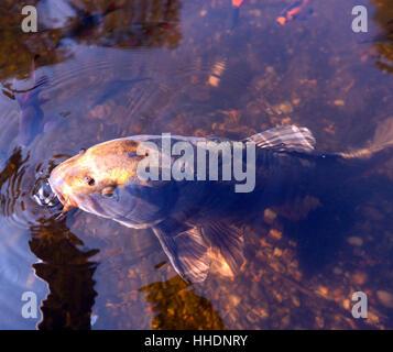 Koi carp cyprinus carpio single animal sucking on a for Koi spawning pool
