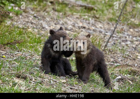 Two Grizzly Bear (Ursus arctos horribilis) cubs of the year or spring cubs playing, Yellowstone National Park, Wyoming, - Stock Photo