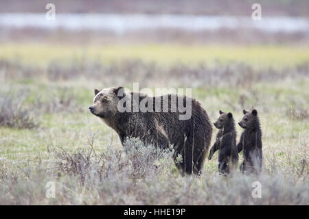 Grizzly Bear sow and two cubs of the year or spring cubs standing, Yellowstone National Park, Wyoming, USA - Stock Photo