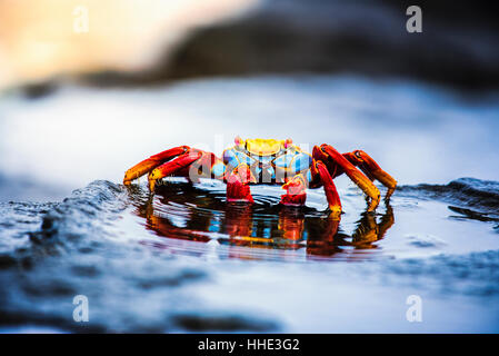 Sally Lightfoot Crab, Grapsus grapsus found in the Galapagos Islands. - Stock Photo