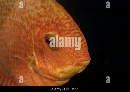 Portrait of cichlid fish (Heros sp.) in aquarium - Stock Photo