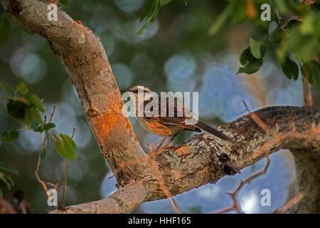 Chalk browed mockingbird in Brazil - Stock Photo