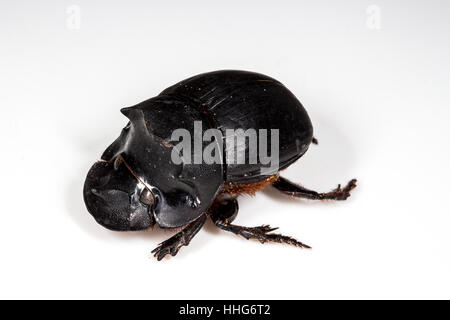 Beetle (Catharsius molossus) Rhino Beetle on white background - Stock Photo