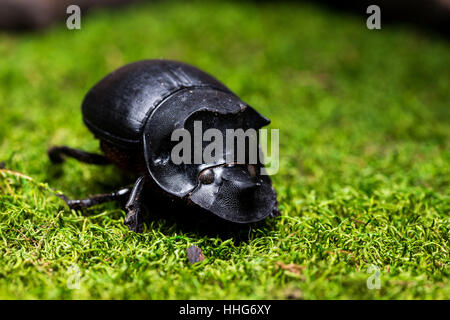 Beetle (Catharsius molossus) Rhino Beetle on green moss - Stock Photo